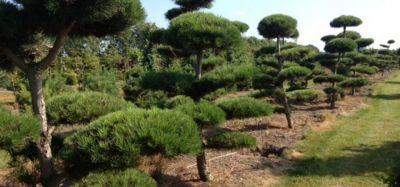 Medelyne yra apie 110 rūšių dekoratyvinių augalų. Prekyba tik ALDOVIDAS medelyne išaugintais augalais!