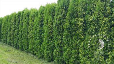 Mūsų medelyne rasite didelį pasirinkimą augalų gyvatvorėms, taip pat galėsime pasiūlyti įvairių dekoratyvinių augalų Jūsų aplink